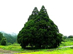 「トトロだ!」思わず声が出る。山形県鮭川村「小杉の大杉」を見に行こう | 山形県 | Travel.jp[たびねす]
