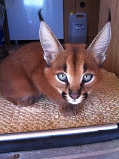 """The caracal is a medium sized cat which it spread in West Asia, South Asia, and Africa. The word Caracal is from Turkey """"Karakulak"""" which means """"Black Ears"""". Here is all about caracal as a pet. Crazy Cats, Big Cats, Cute Cats, Funny Cats, Caracal Kittens, Cats And Kittens, Serval, Beautiful Cats, Animals Beautiful"""