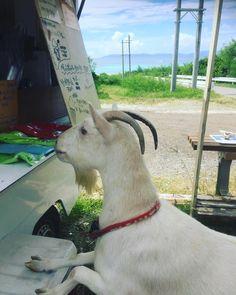 ココちゃん、パーラーブーブーにおやつを買いに来ました!お金ないけどね Koko came to Parlor Booboo to order something to eat but she had no money!! #波照間 #沖縄 # #南国暮らし #ニシハマ #パーラーブーブー #居酒屋バンブー #ニャンスタグラム #日本最南端 #ねこ #ヤギ #ココ #かつお #やぎ #Hateruma #okinawa #cat #goat #Japan #southernmost #nishihama beach #catstagram #goatstagram #catcube #best beach in Japan