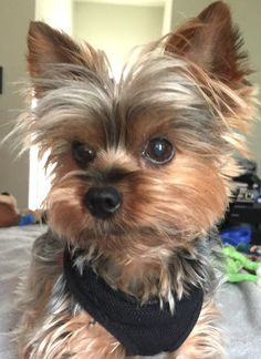 Yorkie Teacup Puppies, Cute Puppies, Cute Dogs, Dogs And Puppies, Doggies, Yorshire Terrier, Silky Terrier, Yorky, Yorkshire Terrier Puppies