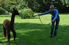 Use a wand and a light connection through a lightweight lead to teach your alpaca to really learn to listen to cues from the handler. Teach your alpaca to take one step at a time in response to a very light cue on the lead. Use the wand to help him understand that you want one step no more. This will help your animal when it comes to showing!