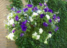 Petunia dubbel wit, Petunia blauw, Lobelia Richardii, bacopa wit, Helichrysum zilver