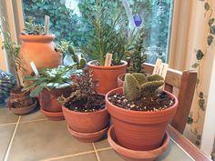 Succulent and cactus garden on kitchen table. Fun winter garden