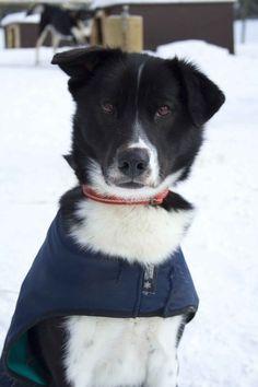 Olof Alaskan Husky | Pawshake
