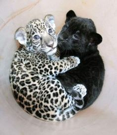 Panther and leopard <3