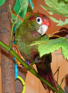 Rose-Crowned Conure These are very sweet, loving, smart, funny, playful, pretty, and active little guys. This is my 7 month old in his play tree. He has already started potty-training himself, learned tricks, and can talk! (Not as clear as big parrots though.) He says several phrases and words. His favorite words are 'Peek-a-Boo', especially while playing the game popping out from under a blanket. LOVE him! (Plus, they are quiter than many larger parrots.)