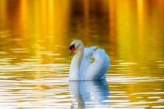 Golden Swan by AndyGlogower