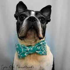 Dog Collar Bow TieTeal Blue Damask by sofacitysweethearts on Etsy