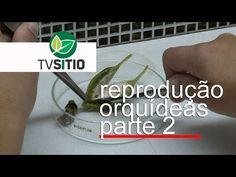 COMO REPRODUZIR ORQUÍDEAS (parte 2) - YouTube