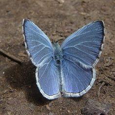 Spring azure (Celastrina ladon) - butterfly lepidoptera