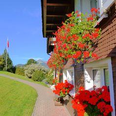 Beautiful geraniums in Switzerland--month of October.