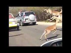 SOMEWHERE IN AFRICA .... SPRINGBOKS CHASED BY CHEETAHS. - YouTube Cheetahs, God Loves Me, Gods Love, Places To Visit, Africa, Amazing, Youtube, Love Of God, Cheetah