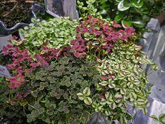 Trifolium 'Jessica - - Yahoo Image Search Results