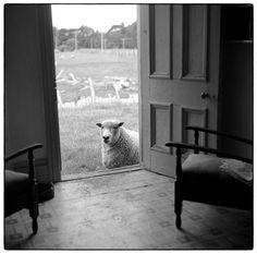 "realityayslum: "" Julian Ward Sheep at the Door. Artistic Photography, Animal Photography, Grazing Animals, Sheep Art, Future Farms, Social Art, Documentary Photographers, Black And White Photography, New Zealand"