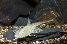 picture of Bristlenose Loricaria Catfish Reg                                                                    Pseudohemiodon laticeps