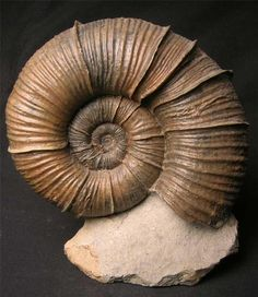 UK fossils including British ammonites