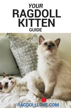 Your Ragdoll Kitten Guide - Tips, Tricks and Advice White Kittens, Cats And Kittens, Ragdoll Kittens, Funny Kittens, Bengal Cats, Ragdoll Cats, Black Cats, Kitty Cats, Siamese Cat