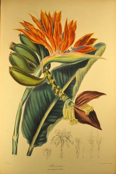 From Illustrations of the Natural Order of Plants, 1849, by Elizabeth Twining.