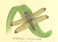 Image taken from page 263 of 'The British Miscellany: or, coloured figures of new, rare, or little known animal subjects, etc. vol. I., vol. II'