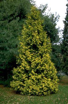 Thuja plicata 'Irish Gold' (v)