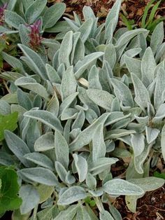 Dwarf Lamb's Ear Stachys byzantina Silky Fleece from Perennial Farm Marketplace Lambs Ear Plant, Stachys Byzantina, Landscape Materials, Mediterranean Garden, Woodland Garden, Relief Society, Container Plants, Dwarf, Flower Beds