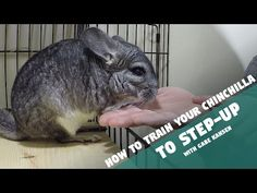 How to Train Your Chinchilla to Step-Up Diy Chinchilla Toys, Chinchilla Care, Classroom Pets, Cute Animals, Small Animals, Gerbil, Pet Cage, All Gods Creatures, Little Pets