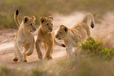 Kariega Private Game Reserve in Eastern Cape South Africa delivers the ultimate in malaria-free African safaris. View Big 5 animals and safari lodge accommodation. Lioness And Cubs, Baby Animals, Cute Animals, Gato Grande, Lion Cub, Wildlife Nature, Nature Animals, Game Reserve, African Safari