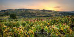 vignobles de Pommard par Aurélien Ibanez