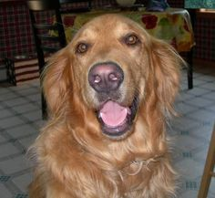 Happiness is a golden retriever!  Looks like my Toby!!  I will always miss you my sweet lovable boy!!