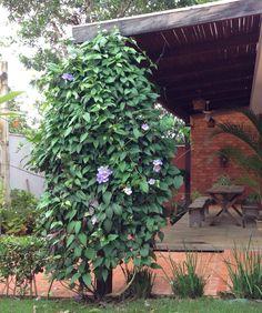 A tumbergia azul é uma planta nativa da Ásia e Índia;  É uma trepadeira perene, muito rústica e ornamental.