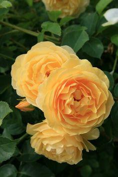 ~Roses, Island Mainau, Bodensee, Germany