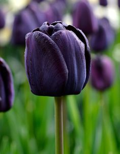 SIngle Late Tulip Queen of Night 22