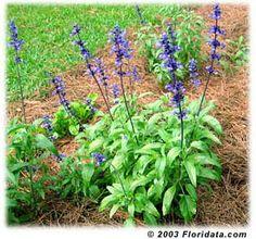 Salvia farinaceae Verbena, Annual Plants, Salvia, Central Florida, Perennials, Seeds, Landscape, Flowers, Grasses
