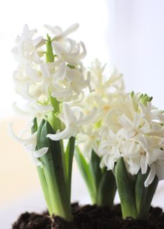 you tried forcing indoor bulbs? So rewarding! Shelmerdine Garden Center at 7800 Roblin Blvd in Headingley White Wedding Flowers, White Flowers, Red Roses, Beautiful Flowers Garden, Beautiful Gardens, White Hyacinth, Christmas Arrangements, Floral Arrangements, Natural Christmas