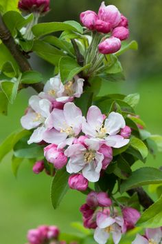 Malus × zumi 'Golden Hornet', early May. A small crab apple tree with white or pale pink blossom opening from pink buds, and deep yellow fruits in autumn.