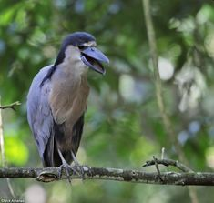 Boat-billed Heron - Cochlearius cochlearius A nocturnal heron found locally around lakes and sluggish rivers throughout much of the Neotropics. There is quite a bit of individual variation in the amount of chestnut on the underparts; this one shows very little