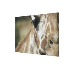>>>Coupon Code          Giraffe 5 stretched canvas prints           Giraffe 5 stretched canvas prints lowest price for you. In addition you can compare price with another store and read helpful reviews. BuyHow to          Giraffe 5 stretched canvas prints please follow the link to see fully...Cleck Hot Deals >>> http://www.zazzle.com/giraffe_5_stretched_canvas_prints-192051083756332085?rf=238627982471231924&zbar=1&tc=terrest