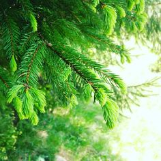 Spruce trees bring me home every time! I grew up in a tiny mountain resort in Romania's Bucegi Mountains where coniferous trees are all around.