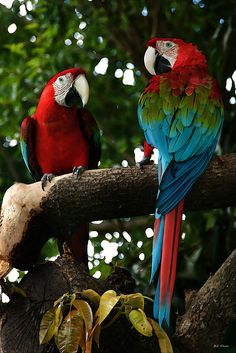 Red Macaws Photograph  - Red Macaws Fine Art Print