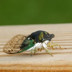 Cicadas? Are awesome.