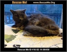 Handsome Alvin is a talkative Maine Coon and Russian Blue and needs a home, Vass, NC