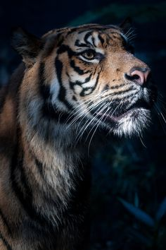 Save the tiger. Avoid palm oil containing products as best you can, and help save their habitat, or opt for RSPO palm oil which is lovely and sustainable!