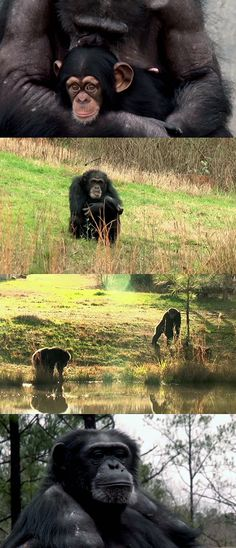 More than 100 government-owned chimpanzees will get to start their new life at Chimp Haven sanctuary in Keithville, Louisiana. Watch the touching story here: http://gwyl.io/lab-chimpanzees-see-the-blue-sky-for-the-very-first-time/