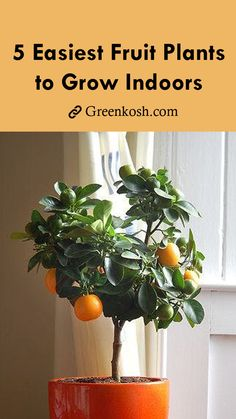 5 easiest fruit plants to grow indoor Due to personal preference or circumstance, you might need to grow fruits indoors. Perhaps it's the winter or you have a small apartment without an outdoor gard Indoor Fruit Trees, Best Indoor Plants, Fruit Plants, Cool Plants, Indoor Flowers, Tomato Plants, Live Plants, Indoor House Plants, Indoor Avocado Tree