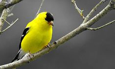 American Goldfinch - their colors are returning.