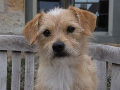 Cade is an adoptable Terrier Dog in Fredericksburg, TX. This pet also comes with 30 days of pre-paid pet health insurance. For more information please visit www.sheltercare.com or call 1-866-375-PETS....