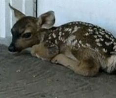Fawn Takes a Nap on a Front Porch  A California man called 911 when he found a fawn curled up on the welcome mat at his parents' home. Officials told him that the fawn's mother was probably nearby, while the baby rested. An hour later, mom came over and nudged the newborn, who wobbled off with her. — Watch it at Today