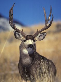 Mule Deer Buck, Yellowstone National Park, Montana