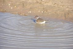 Bird watching – 180 different species already identified ie Three-banded-plover