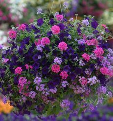 "Container recipe: 3-Supertunia® Royal Velvet {Petunia hybrid}; 3-Bluebird  {Nemesia fruticans}; 2-Superbena® Pink Shades {Verbena hybrid} 2-Superbena® Large Lilac Blue  {Verbena hybrid}. All plants =4.5"", place in 10"" pot and put in sun."